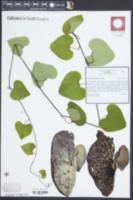 Image of Aristolochia cordifolia