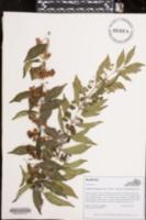 Image of Callicarpa dichotoma