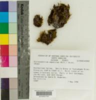 Image of Dicranodontium asperulum