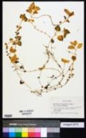 Image of Stellaria diversiflora