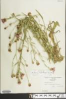 Image of Centaurea pratensis
