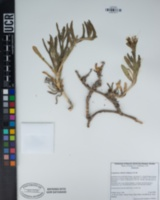 Carpobrotus chilensis image