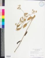 Image of Eryngium integrifolium