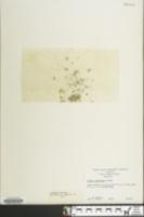 Wolffia columbiana image