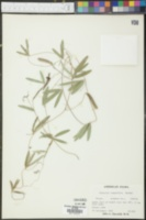 Galactia longifolia image