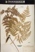 Image of Dennstaedtia zeylanica