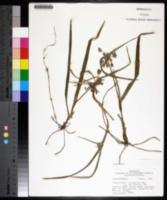 Tradescantia hirsutiflora image
