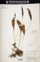 Image of Leptochilus wrightii