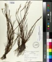 Image of Sisyrinchium miamiense