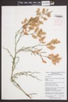Image of Polygonella americana