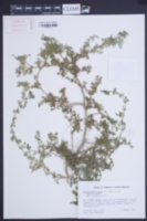 Kallstroemia maxima image