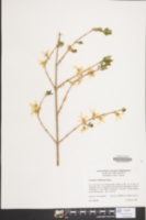 Image of Forsythia viridissima