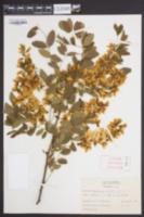 Robinia pseudoacacia image