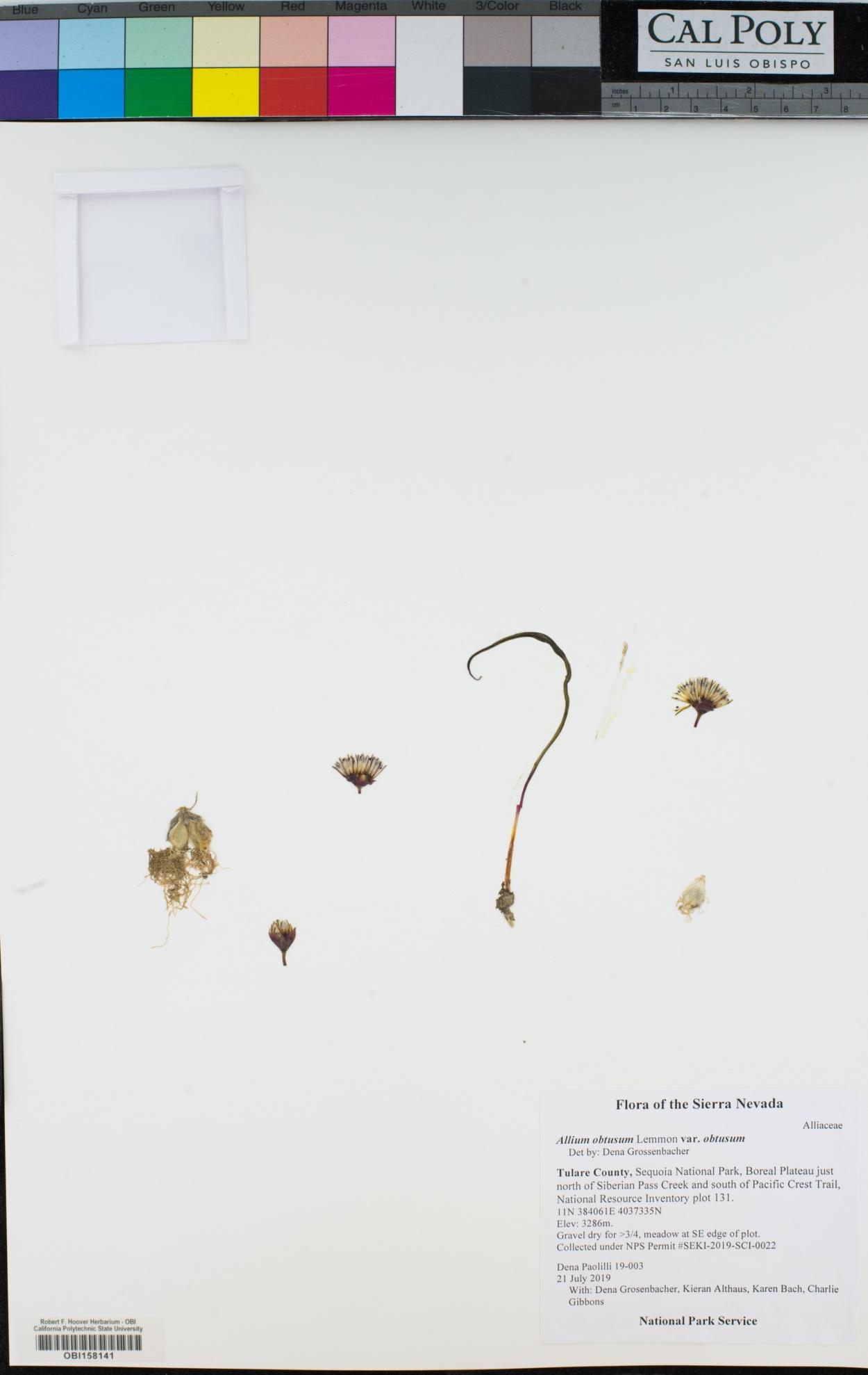 Allium obtusum image