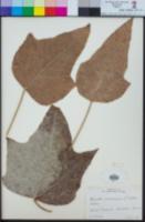 Aleurites moluccanus image