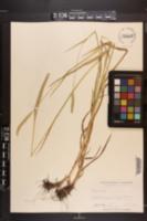 Phleum pratense image