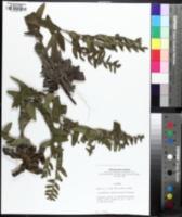 Image of Lithospermum decipiens