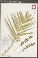 Image of Phoenix paludosa