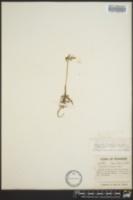 Sceptridium dissectum image