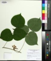 Lackeya multiflora image