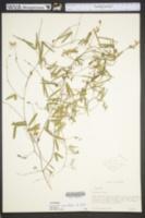 Image of Galactia parvifolia
