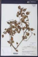 Physalis cordata image