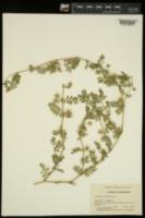 Tribulus terrestris image