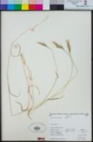 Brachypodium distachyon image