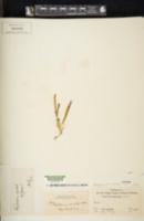 Polypodium cambricum image