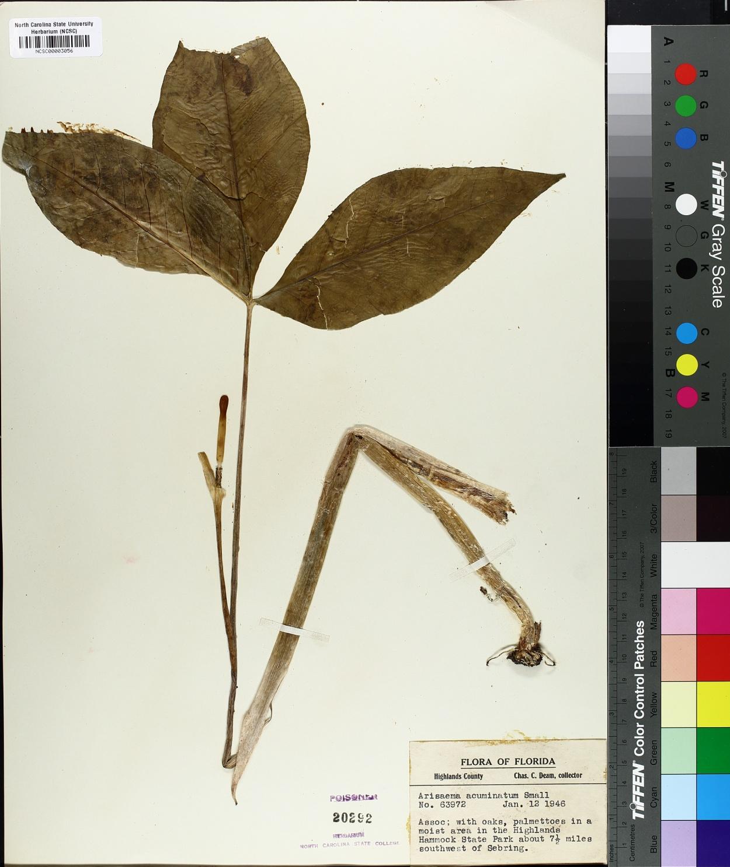 Arisaema acuminatum image