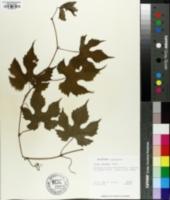 Image of Vitis palmata
