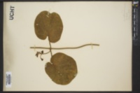 Image of Vincetoxicum hirsutum