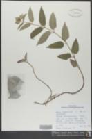 Image of Monarda austroappalachiana
