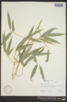 Image of Phyllostachys elegans