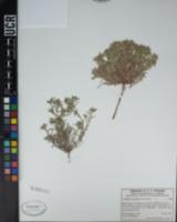 Johnstonella angustifolia image