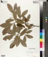 Image of Castanea alnifolia