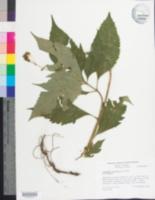 Image of Coreopsis latifolia