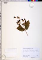 Image of Hypericum androsaemum