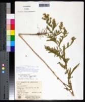Symphyotrichum lanceolatum var. interior image