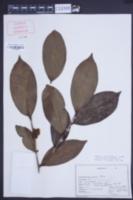 Camellia thea image
