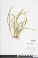 Carex abscondita image