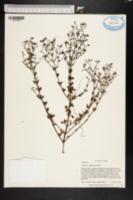 Image of Trichostema suffrutescens