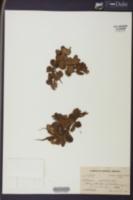 Salvinia auriculata image