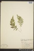 Woodsia appalachiana image