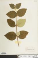 Image of Viburnum carlcephalum