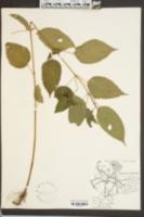 Boehmeria cylindrica image