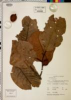 Myristica dactyloides image