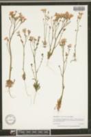 Image of Gilia latiflora