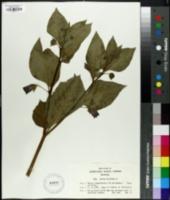 Image of Atropa belladonna
