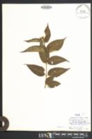 Diervilla lonicera image